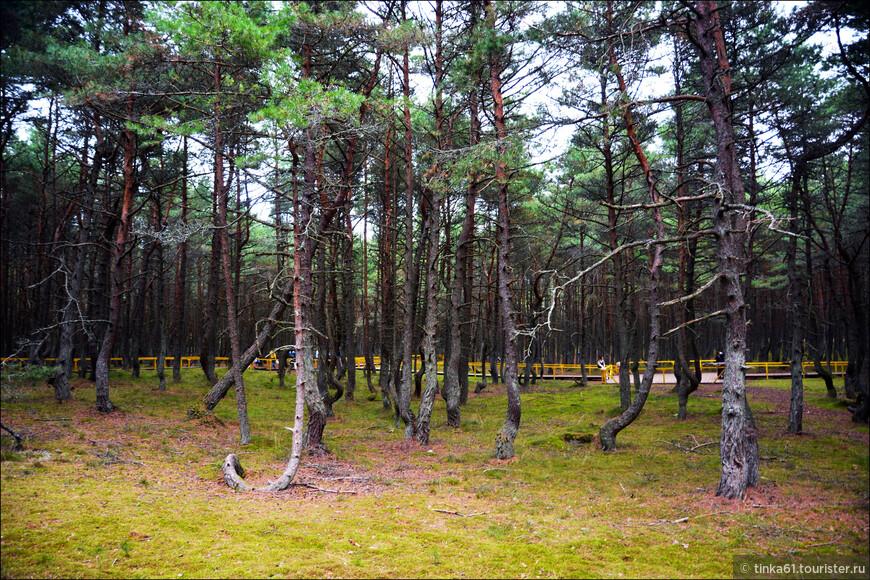 Танцующий лес  давно уже является местной туристической достопримечательностью и входит в состав национального парка Куршская коса.