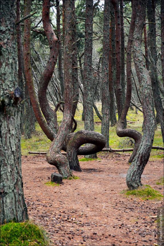 Интересный феномен. Логичного объяснения «танцующего леса» еще не дал никто, что не мешает наслаждаться видом этого уникального природного явления.