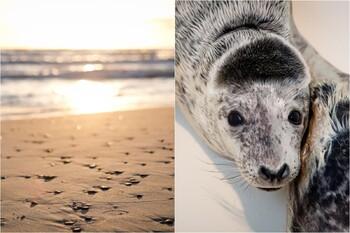 На пляжах Литвы находят десятки мертвых тюленей