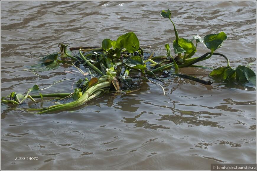 Это, видимо, лотос... Эти штуки плавают по коричневой воде повсюду...