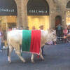 Флоренция, по  городу шагает годовалый телёнок, приз победителю Исторического флорентийского футбола, экскурсии по Флоренции и Тоскане с частным индивидуальным гидом на русском языке