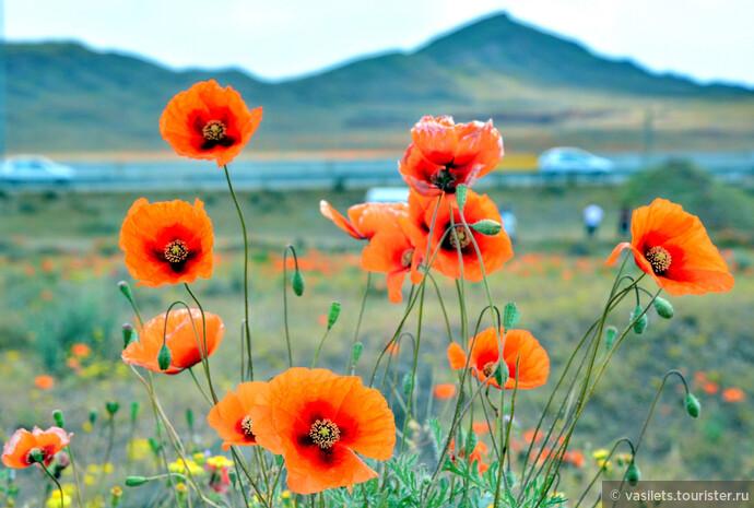 По дороге из Тегерана в Кум привлекают внимание целые поля цветущих маков, проехать мимо никак нельзя