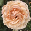 Розы 🌹 на Майнау