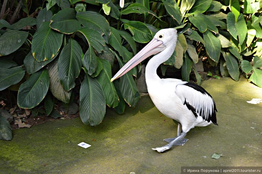 Пеликаны оказались очень забавными. Этот важно вышагивал по дорожке и не хотел уступать нам дорогу