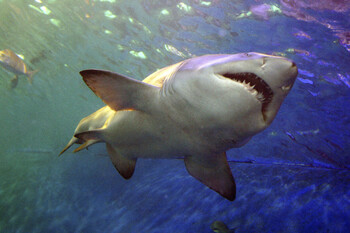 Акулы всё чаще атакуют туристов на Багамских островах
