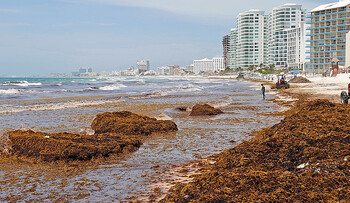 Пляжи Карибского моря сильно загрязнены водорослями