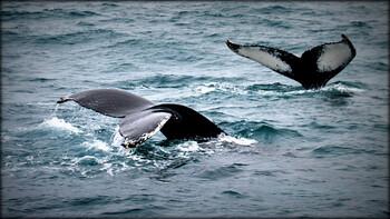 В Шотландии создали турмаршрут для наблюдения за китами