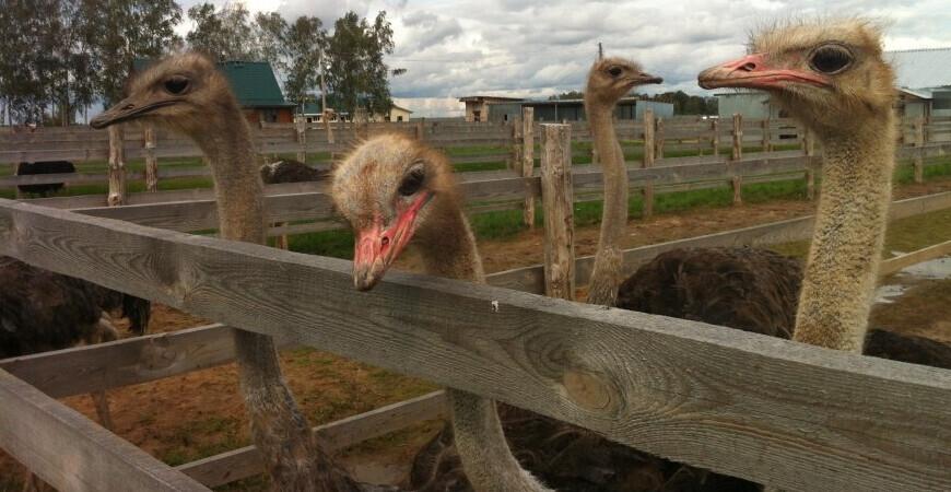 Страусиная ферма «Шартомский страус»