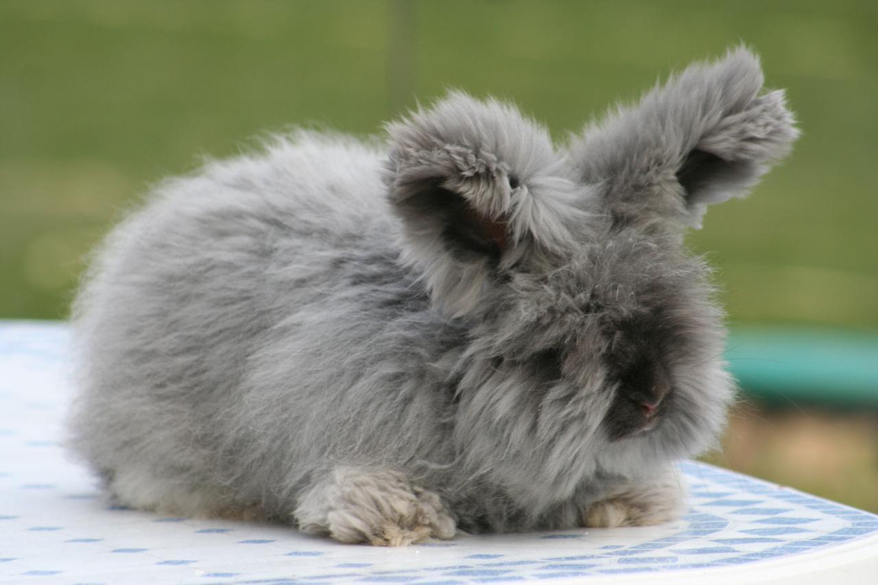 постоянно выкладывает английский ангорский кролик фото так знают