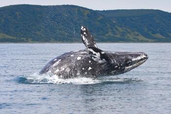 Учёные посчитали китов на Камчатке