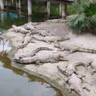 Крокодиловая ферма в Гуанчжоу