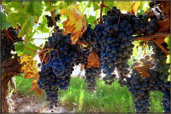 Во французском Божоле град сильно повредил виноградники