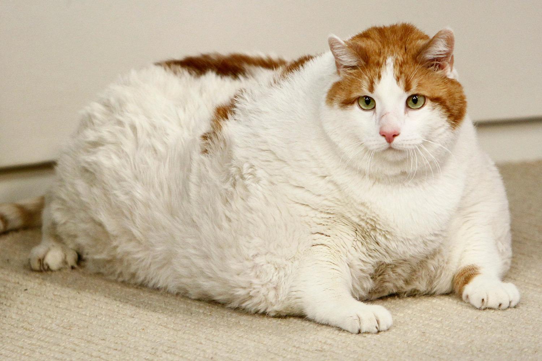 Картинки прикольных котов жирных, днем инженера