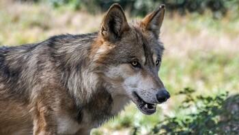В Крыму волки напали на туристов