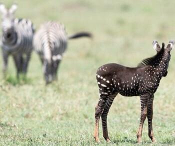 В заповеднике Кении обнаружена необычная зебра в горошек