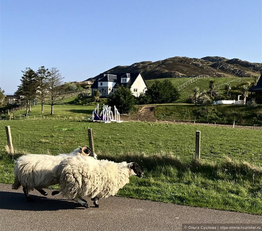 Ни одно фермерское хозяйство Шотландии не обходится без шерстяных овечек