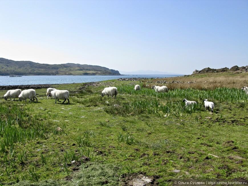 Белоснежные овечки радуются свежей весенней траве