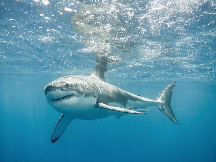 поделюсь вами картинки про больших акул турецкую халву