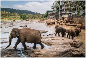 На Шри-Ланке слон умер из-за катавшихся на нём туристов