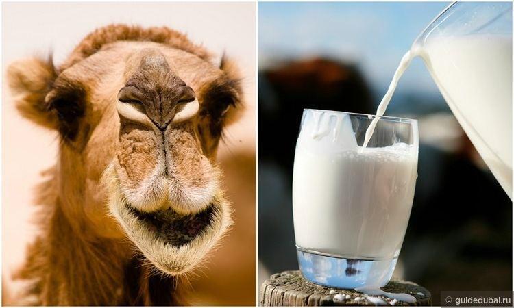Уникальное верблюжье молоко в ОАЭ