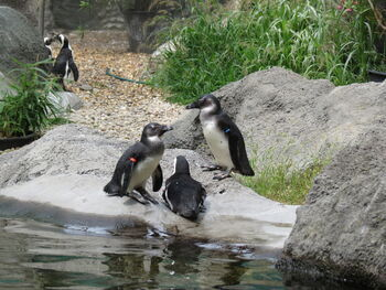 Пингвины в Будапештском зоопарке