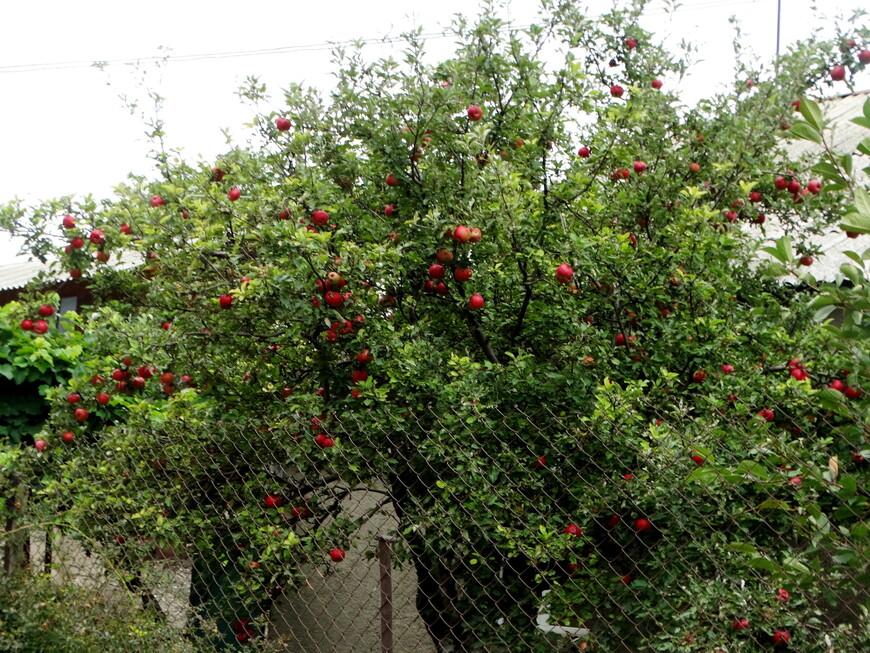 Но какой здесь воздух!!! Целебный, горный, к тому же напоен ароматами фруктов. На  улице Маштоца много садов, в  которых  изобилие яблок, кизила, персиков.