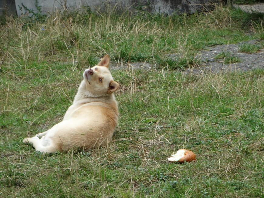 Пёс- мечтатель.