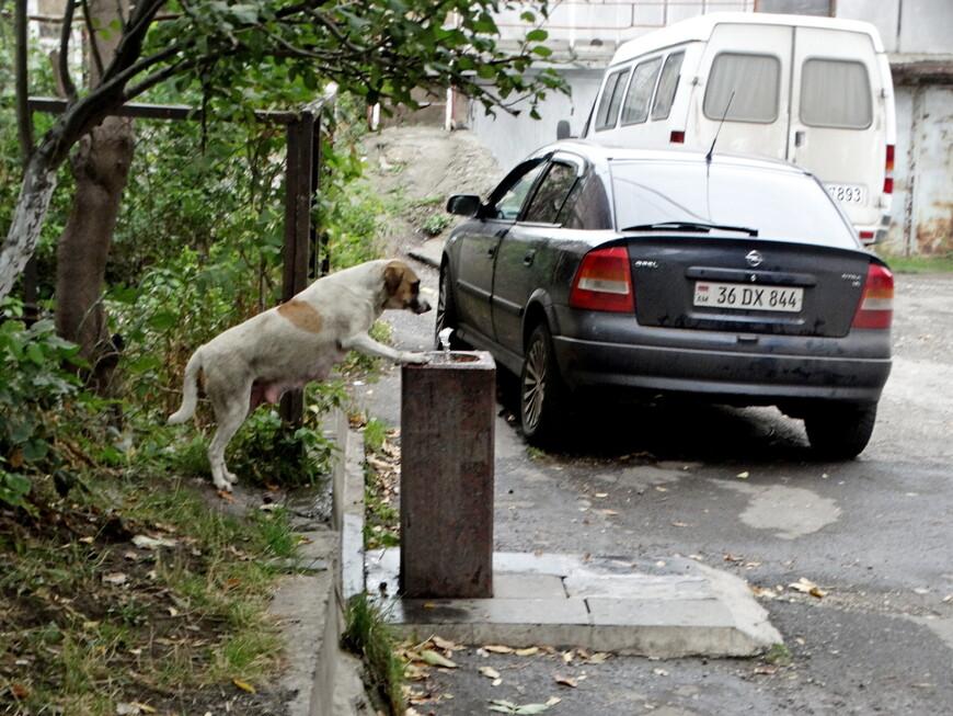В Ванадзоре много питьевых фонтанов. Умные собаки догадались пить из них .