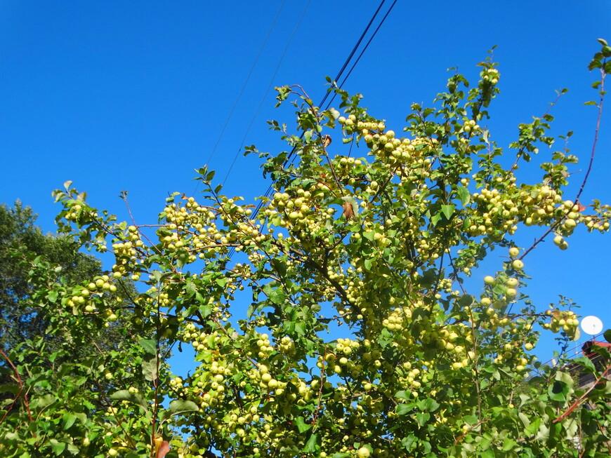 В этом году  славный урожай яблок.