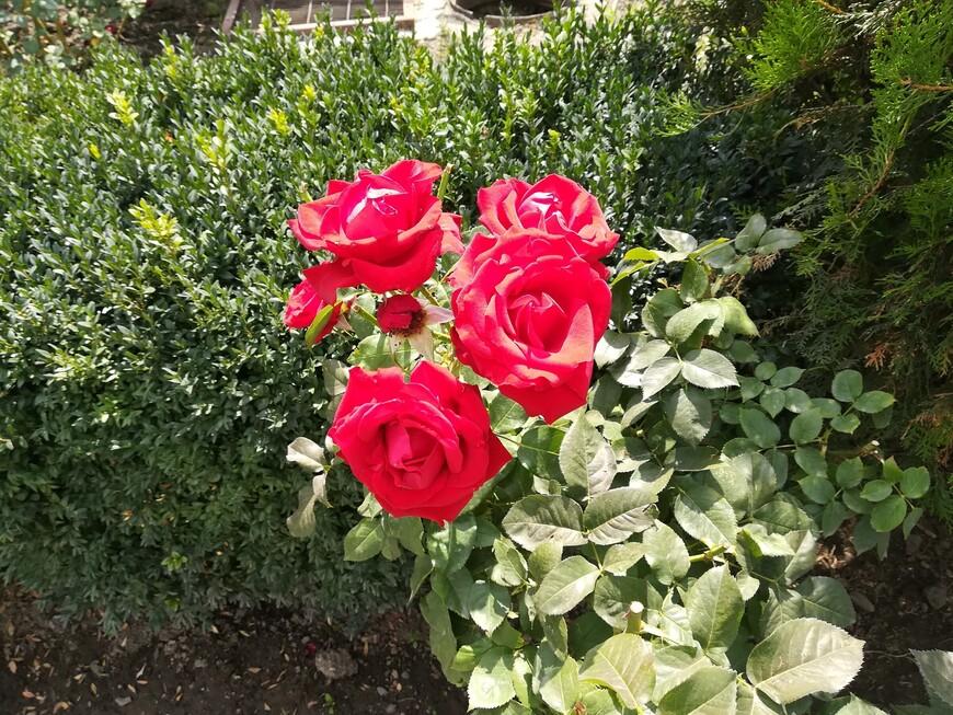 Розы Гюмри.