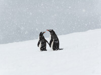 Пингвины Генту.