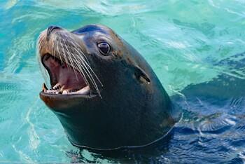 На туристку во время купания напал морской лев