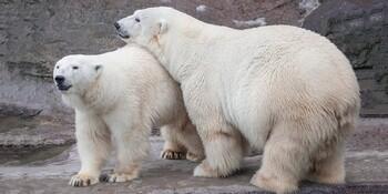 Туристы в белом смогут бесплатно посетить Московский зоопарк в День полярного медведя