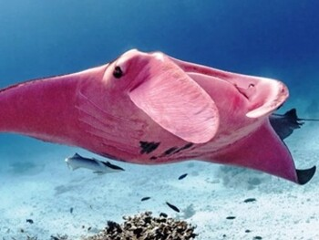Фотограф запечатлел единственного в мире розового ската
