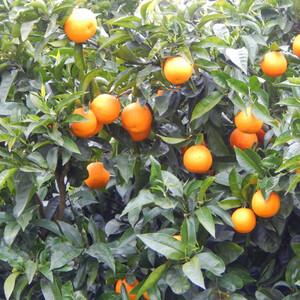 Любовь к трём апельсинам. Келуш