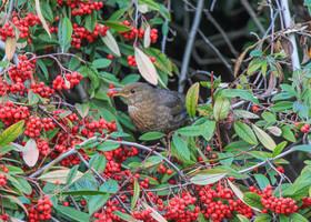 Сколько ягод рябины, переживаю за пищеварение птички, но надеюсь на ее благоразумность )))