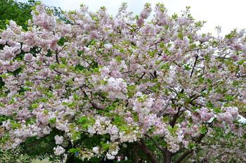 В Японии отменили фестиваль любования цветущей сакурой