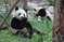 Панды в питомнике Чэнду