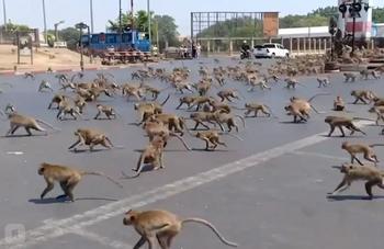 Сотни голодных обезьян терроризируют город в Таиланде