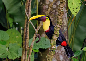 Коричневоспинный тукан, Ramphastos swainsonii, Chestnut-mandibled Toucan