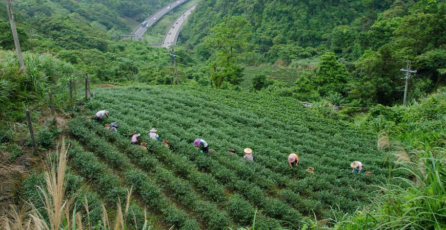 Чайные плантации Пинглинь