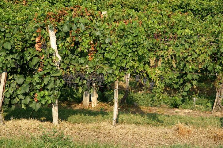 Венгерские виноградники
