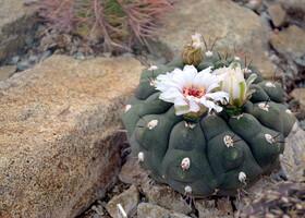 Так шикарно цвести могут только кактусы.
