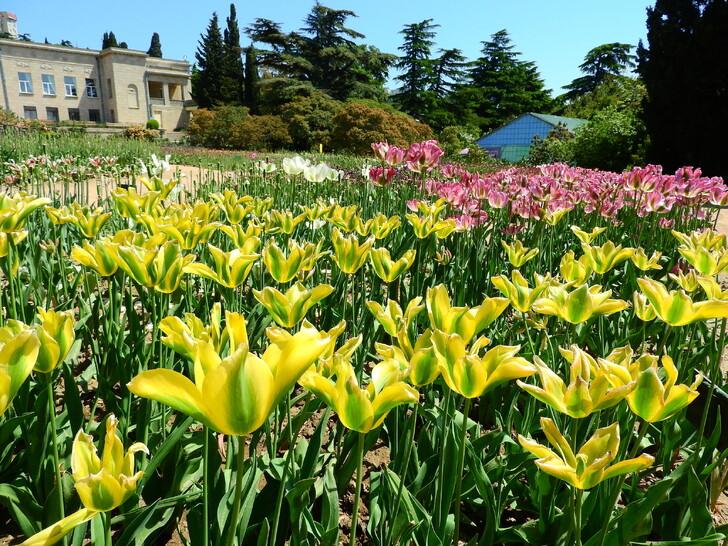 Никитский ботанический сад (парад тюльпанов)