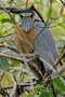 Челноклюв, Cochlearius cochlearius phillipsi, Boat-billed Heron