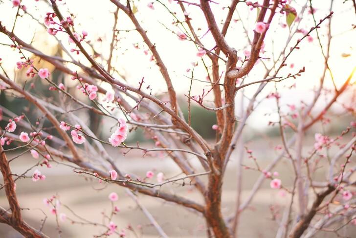Миндаль в Никитском ботаническом саду зацветает в феврале-марте