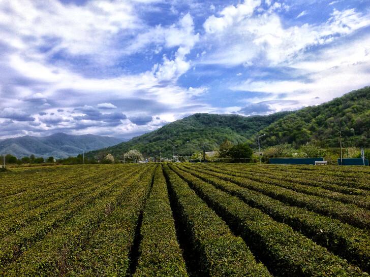 Плантации краснодарского чая