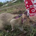 Разминирование Камбоджи – причём тут крысы?