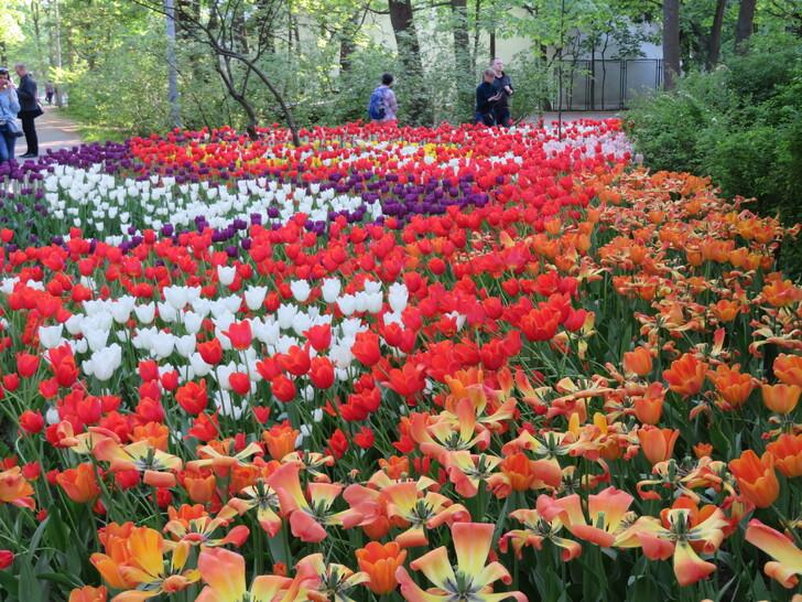 Фестиваль тюльпанов в парке на Елагином острове