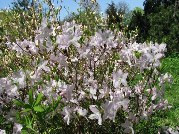Цветение рододендронов в Ботаническом саду
